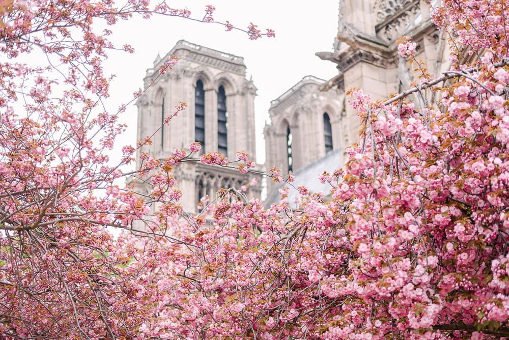 best photography spots in Paris - Cherry Blossoms by the Notre Dame Cathedral